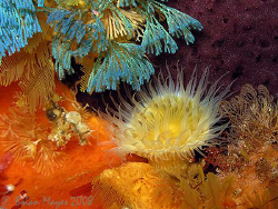 Common Anemone (Actinothoe albocincta) sits among a colou... by Brian Mayes 